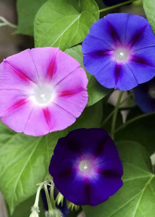 Kahkaha Çiçeği Nedir Nasıl Bakılır
