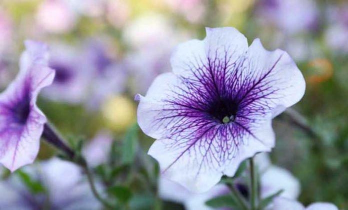 Kahkaha Çiçeği