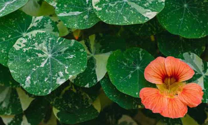 Latin Çiçeği Nedir