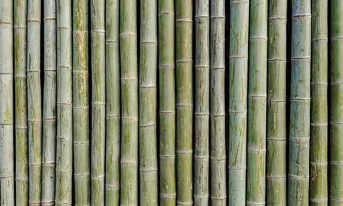 Şans Bambusu Nedir?