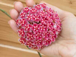 Mum Çiçeği Bakımı