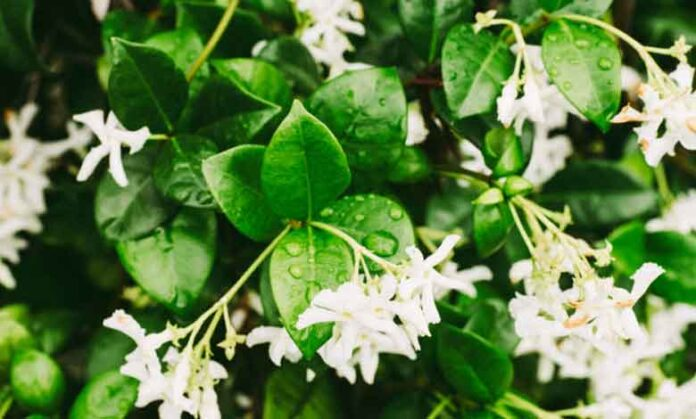 Yasemin Çiçeği Hakkında