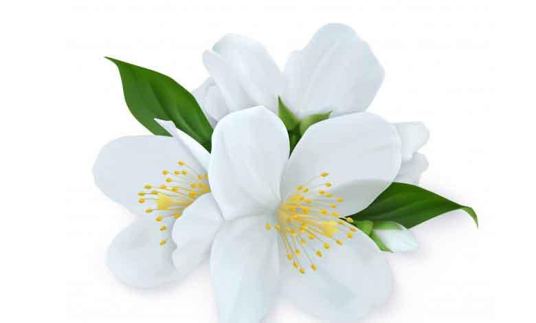 Yasemin Çiçeği Özellikleri Nelerdir